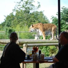 Tea with the Tigers  for Two at Paradise Wildlife Park