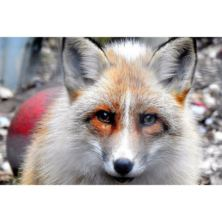 Meet the Red Fox with Park Entry for Two at Ark Wildlife Park