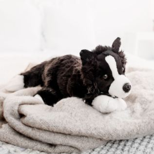 Border Collie Product Image