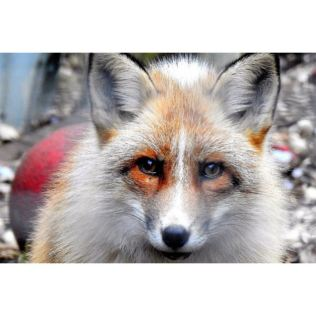 Meet the Red Fox with Park Entry for Two at Ark Wildlife Park Product Image