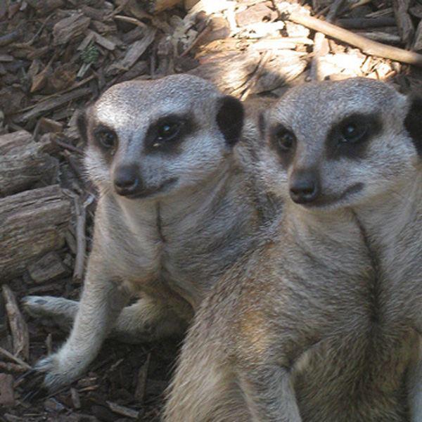 meet the meerkats experience cambridge