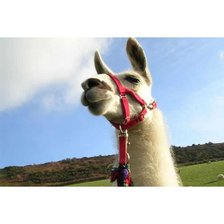 Llama Trekking with Cream Tea for One  product image