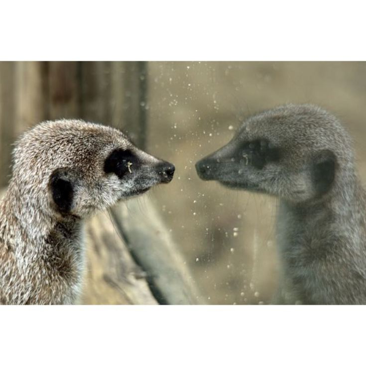 Adopt a Meerkat including Tickets to Paradise Wildlife Park product image