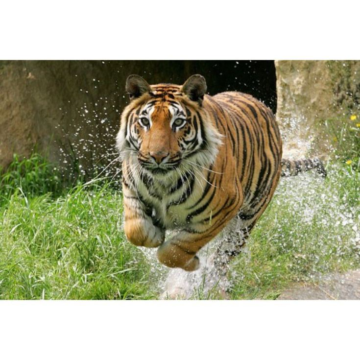 Adopt a Tiger including Tickets to Paradise Wildlife Park  product image