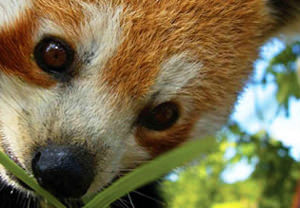 Meet The Red Pandas