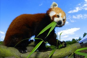 Adopt a Red Panda including Tickets to Paradise Wildlife Park - Wildlife Gifts