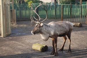 Adopt A Reindeer Including Tickets To Paradise Wildlife Park