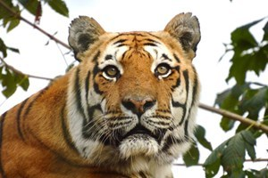 Adopt a Tiger including Tickets to Paradise Wildlife Park - Tiger Gifts