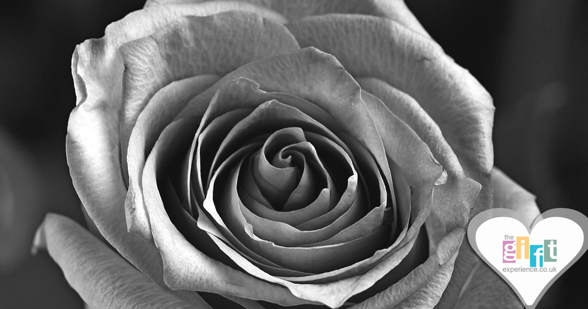 A silver anniversary rose